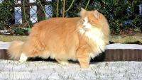 норвежский кот черный