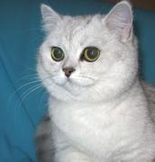 британская кошка шиншилла