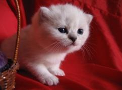 шотландская кошечка келли