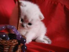 шотландский котенок келли