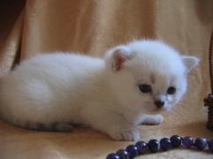 британская кошечка кетти