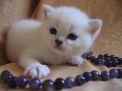 шотландский котенок кристофер