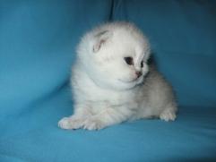 шотландский котенок на продажу
