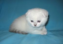 шотландский котенок Леон