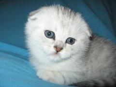 шотландский фолд котенок