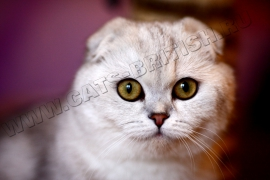 кошка шотландский фолд