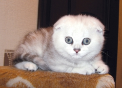 шотландский котенок Мегги