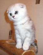 вислоухий котенок Мегги