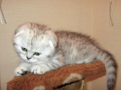 шотландский котенок Молли