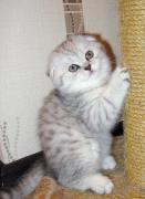 вислоухий котенок Молли