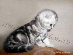 шотландский котенок SFS ns 22