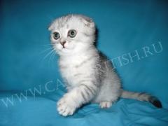 шотландский котенок фолд