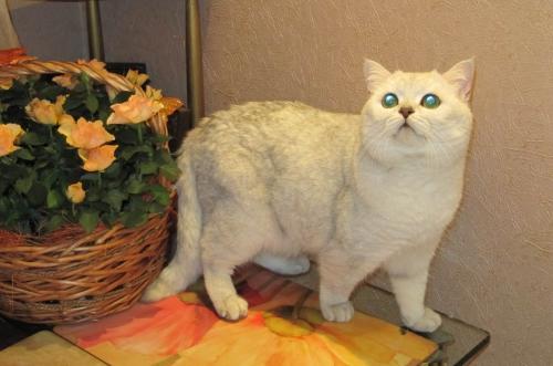 наш британский кот