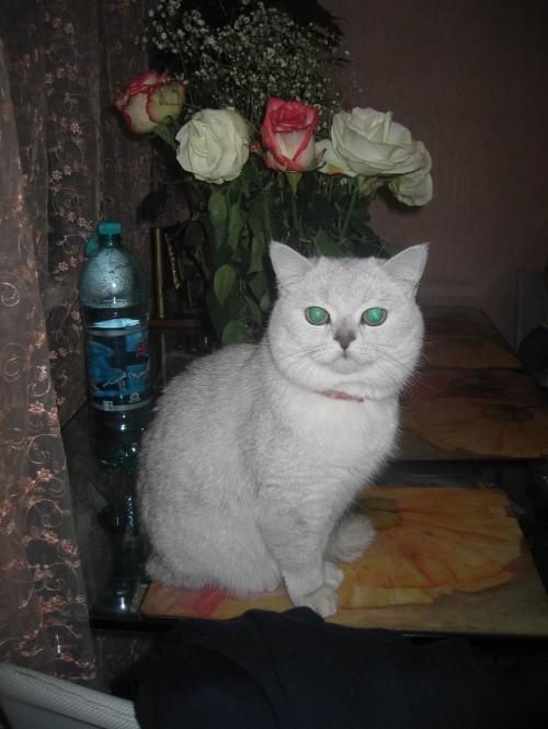 британский кот as 11