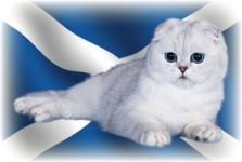 шотландские кошки и коты