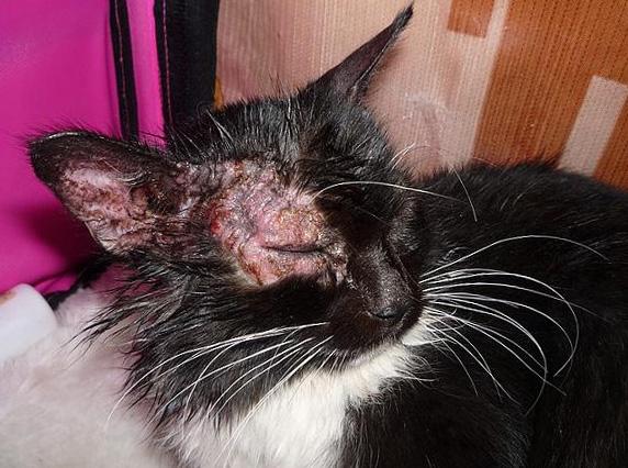Кошачий лишай, фото, лечение, кошачий лишай у человека и детей ...